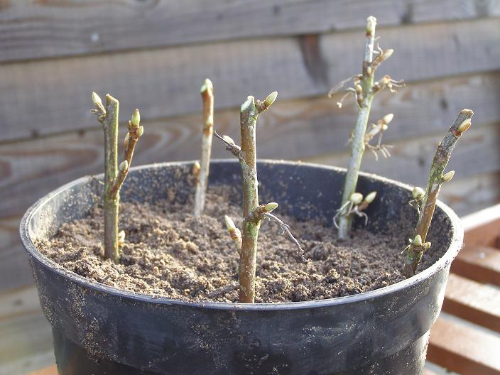 Black currant: propagation by cuttings